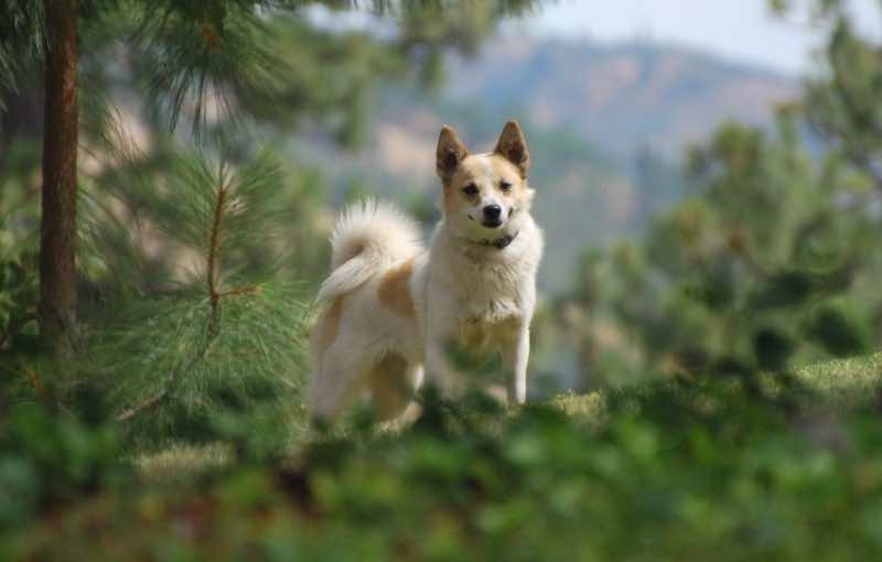 Norrbottenspets dog breed