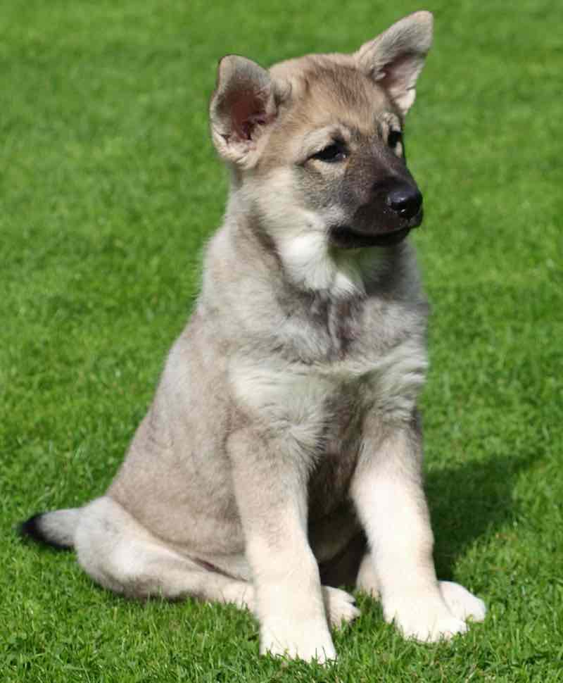 Norwegian Elkhound puppy