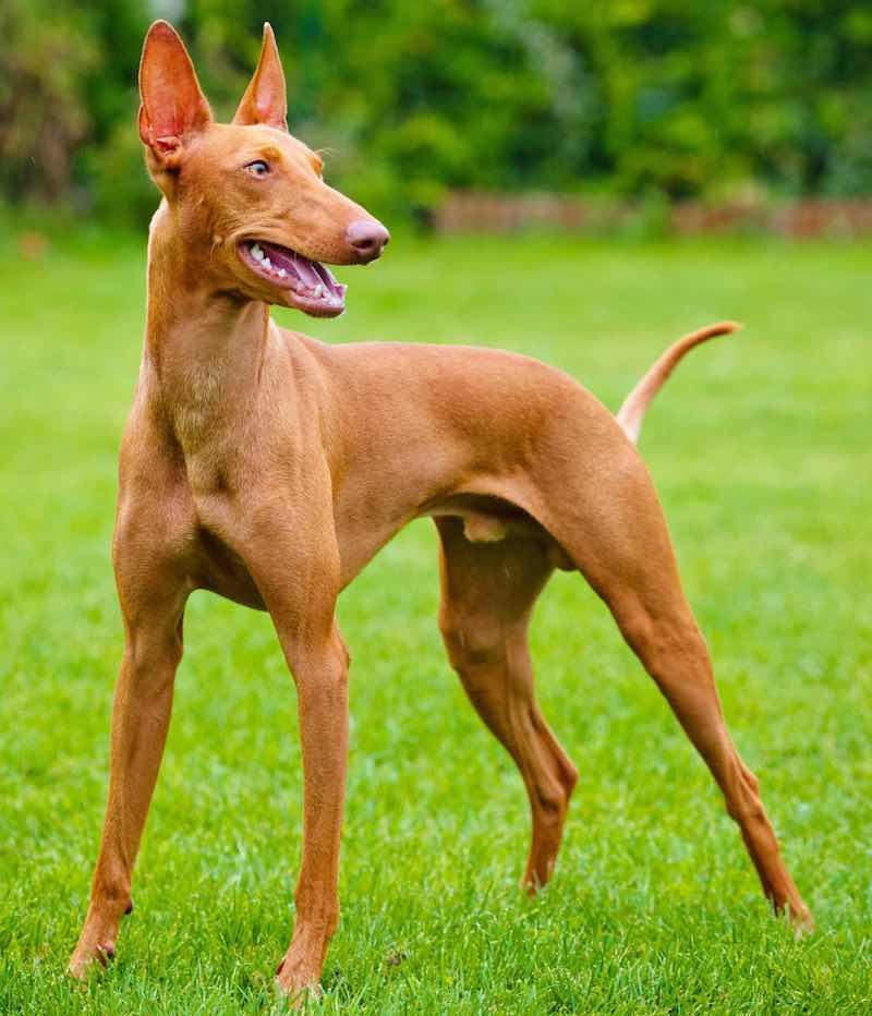 Pharaoh Hound pup
