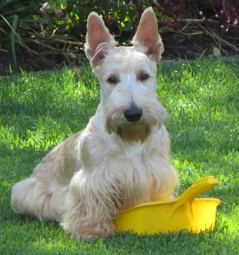 Scottish Terrier wheaten sandy color