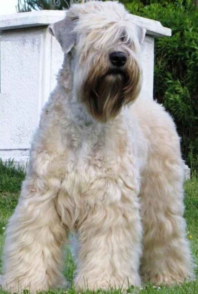 Wheaten Terriers Good Dogs