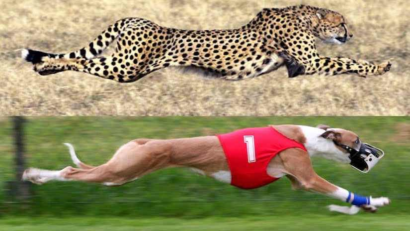 fastest dog breed in the world