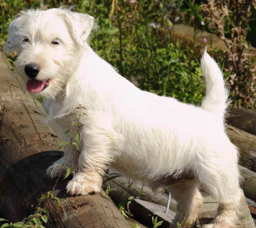 sealyham terrier puppy