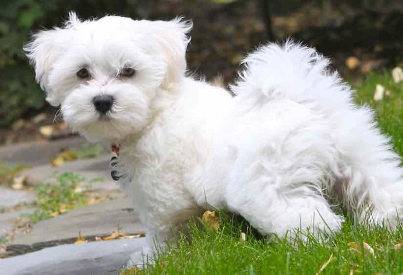Designer dog breeds list Maltipoo
