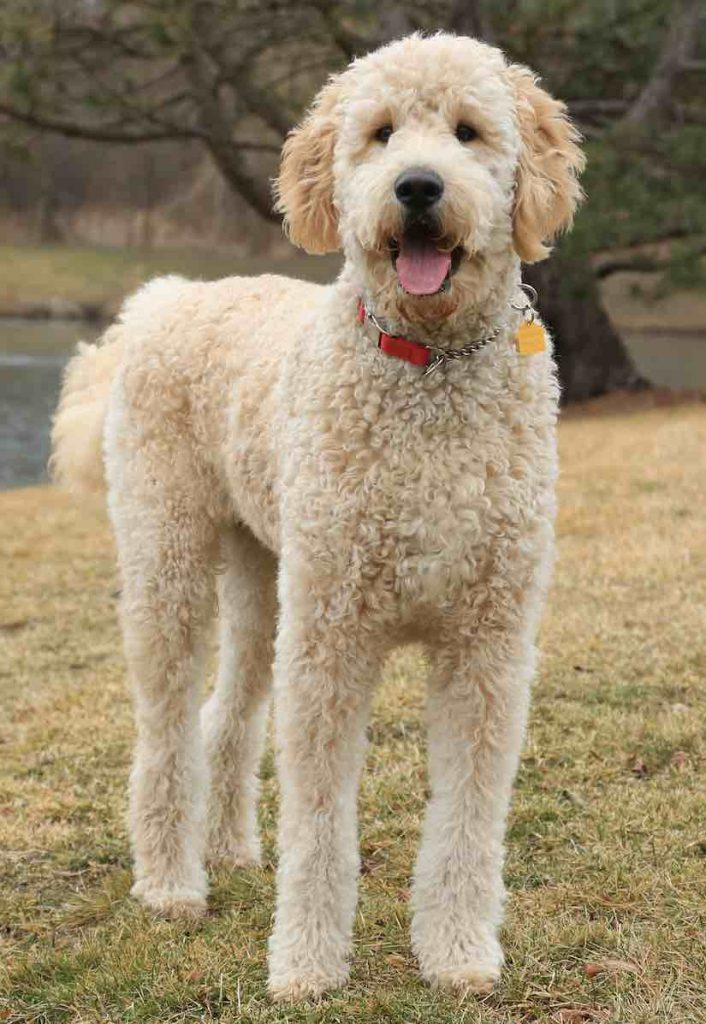 Goldendoodle designer dog breed  F1, F1b Goldendoodles  info, images