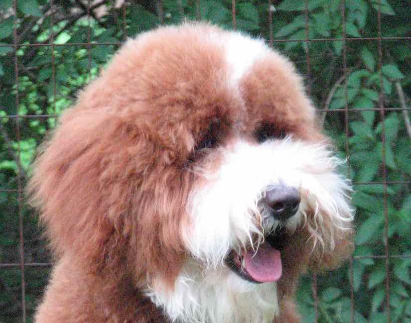 Goldendoodle designer dog breed - F1, F1b Goldendoodles