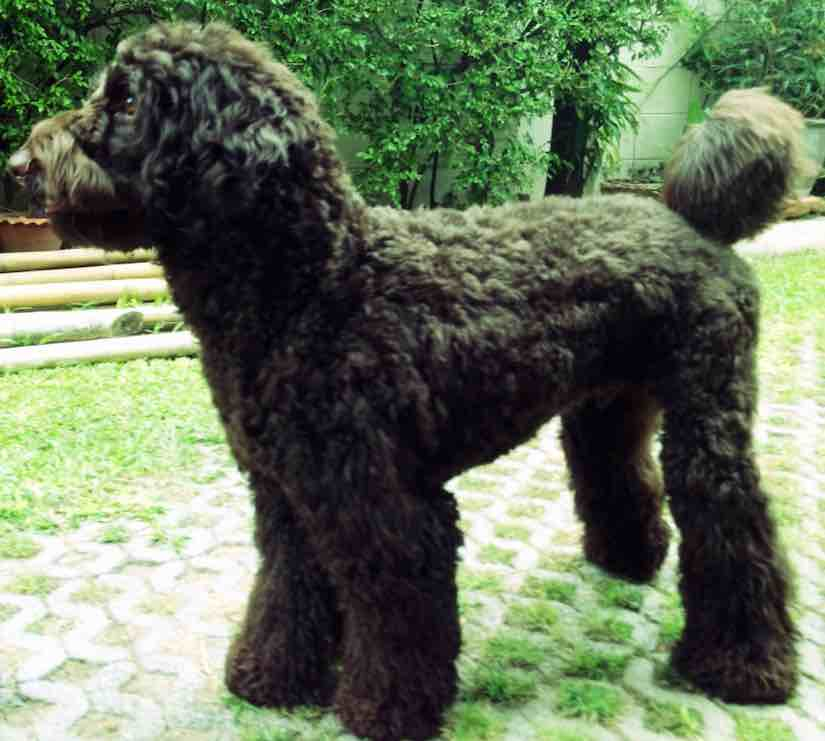 Goldendoodle designer dog breed - F1, F1b Goldendoodles