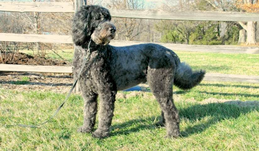 Schnoodle designer dog breed