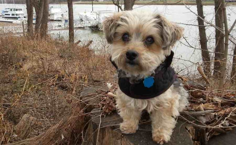 Yorkipoo designer dog breed