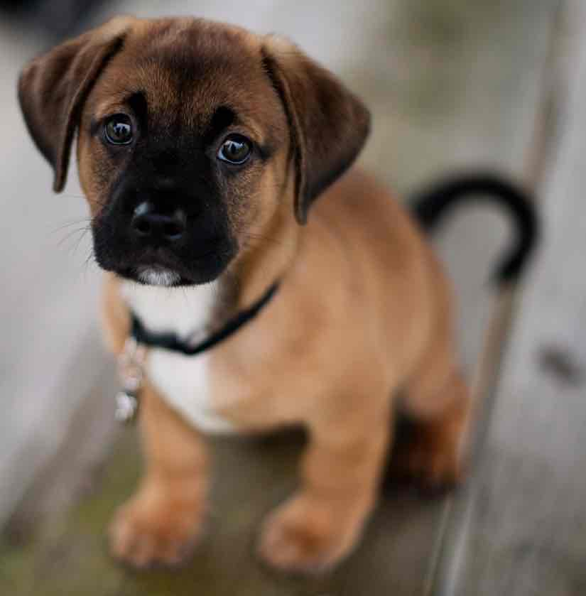 Puggle Dog Breed Temperament