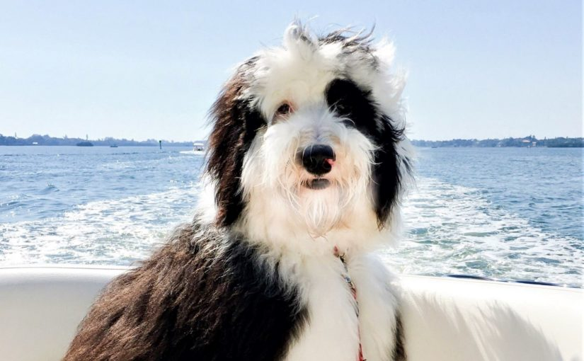 Sheepadoodle Designer Dog Breed Sheepadoodles Poodle