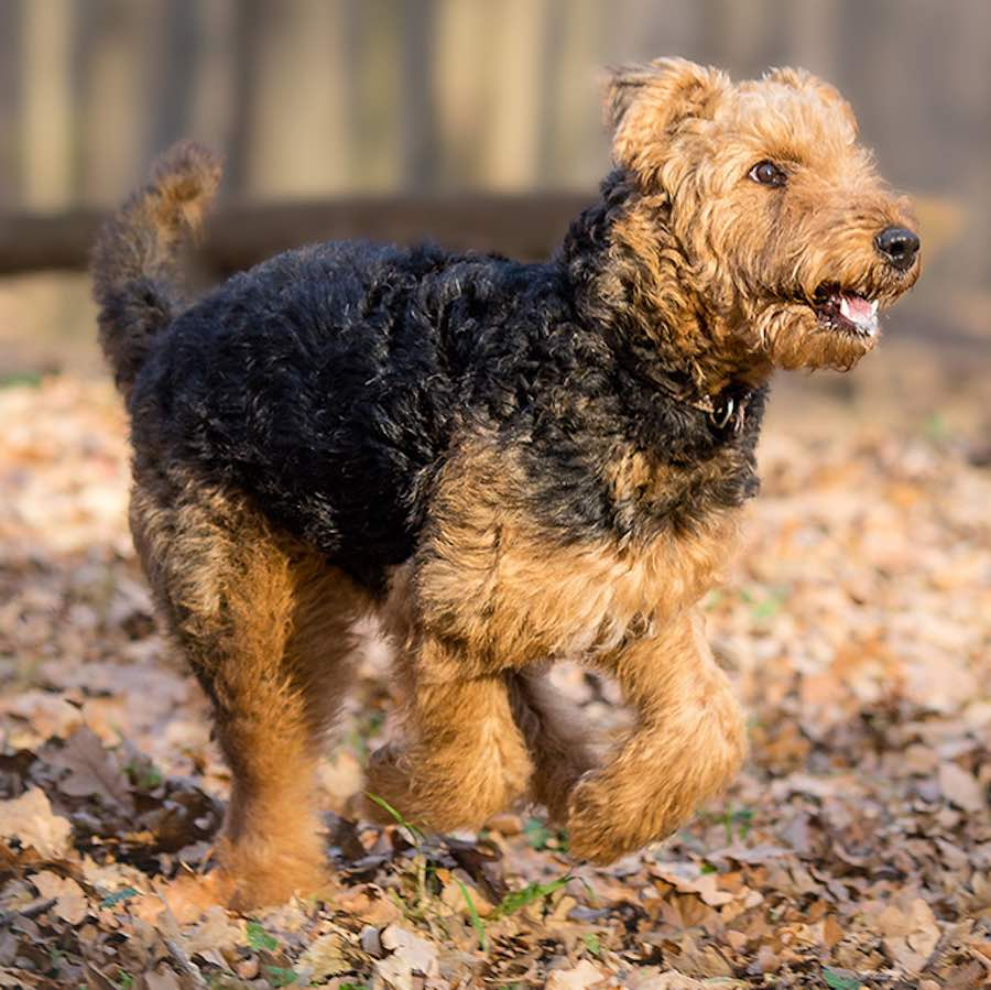 Airedale-Terrier-pup