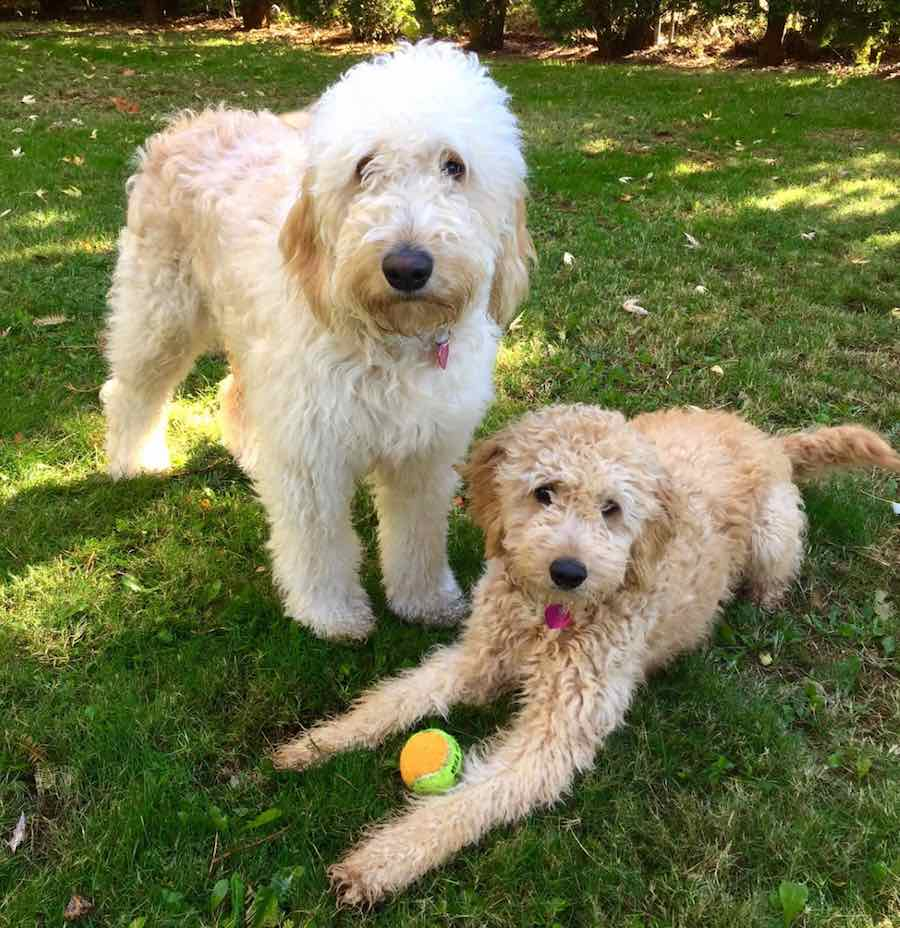 Golden doodles at play