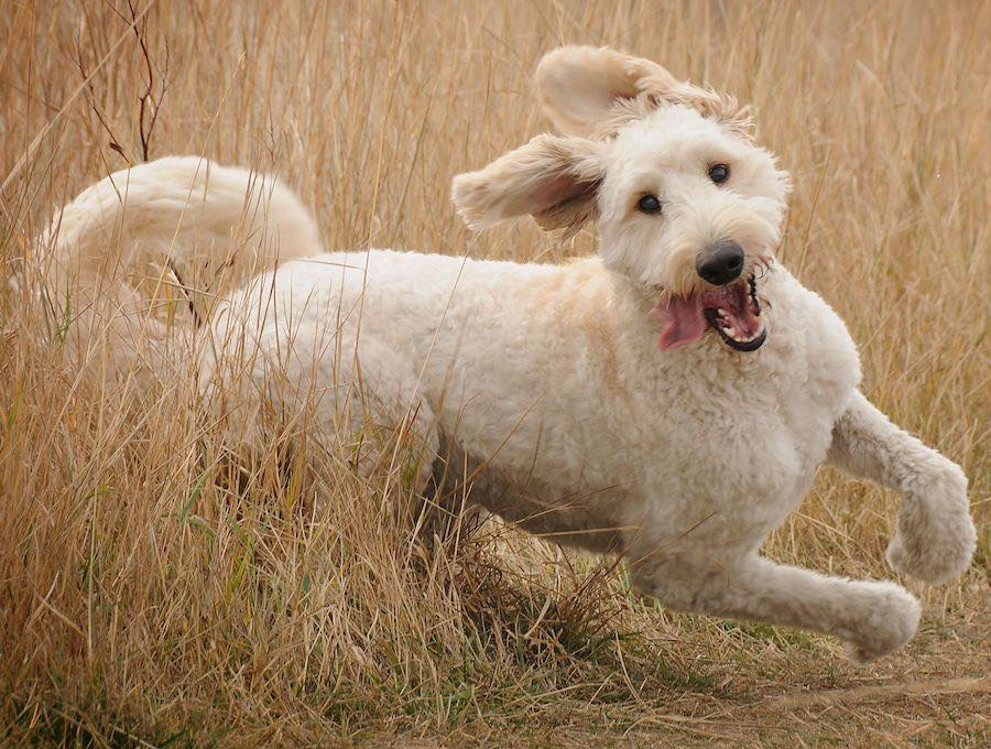 Goldendoodle dog running