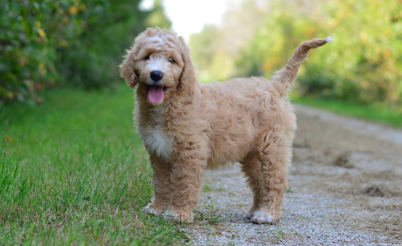 Goldendoodle pup Cooper