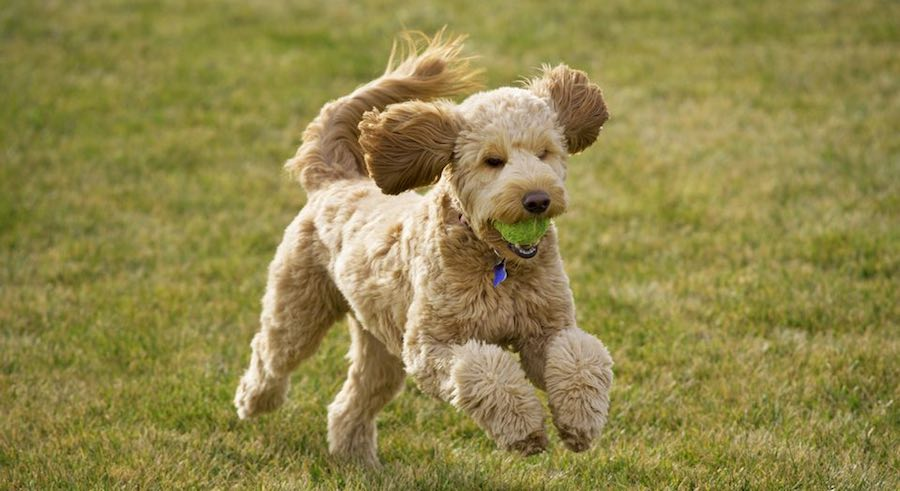 Goldendoodle running