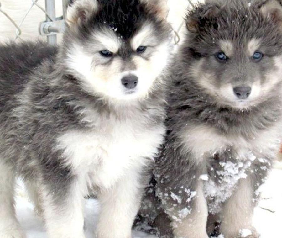 wolf-dog-hybrid-puppies