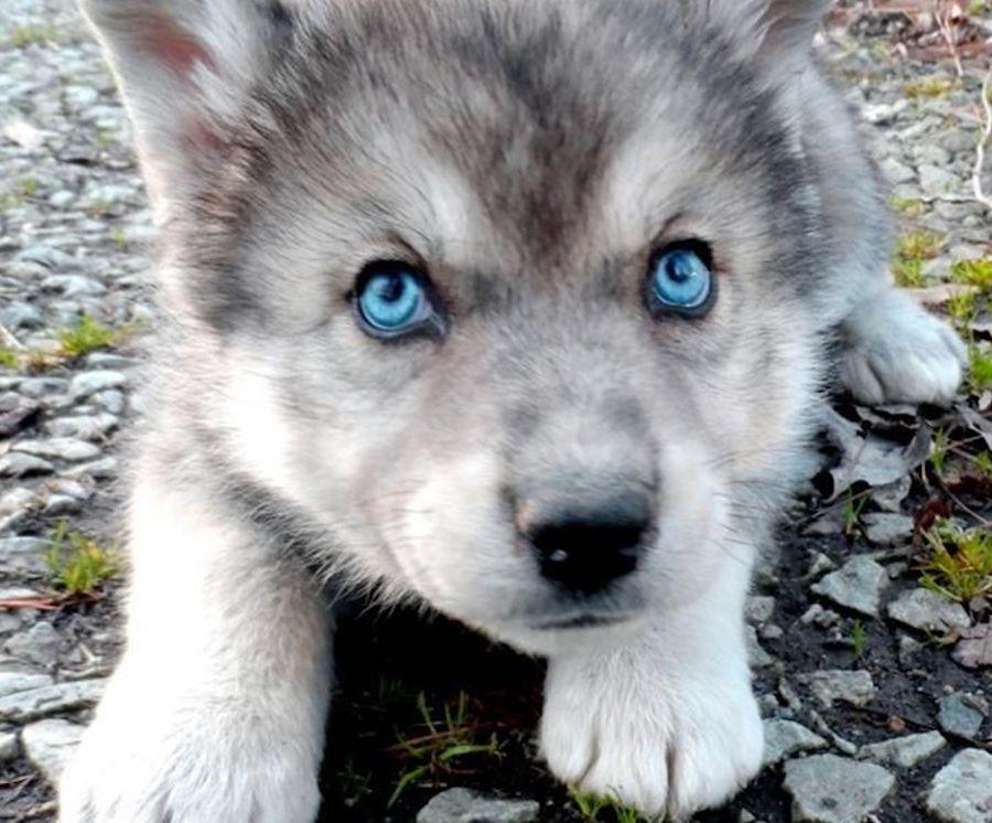 wolf-dog-hybrid-puppy