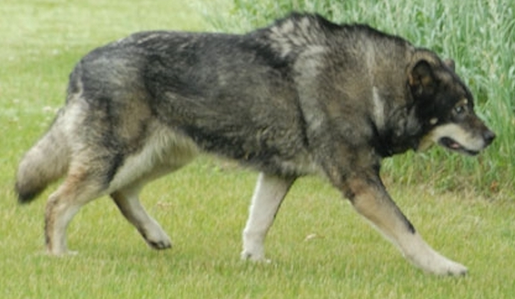 wolf dogs - wolf dog hybrid