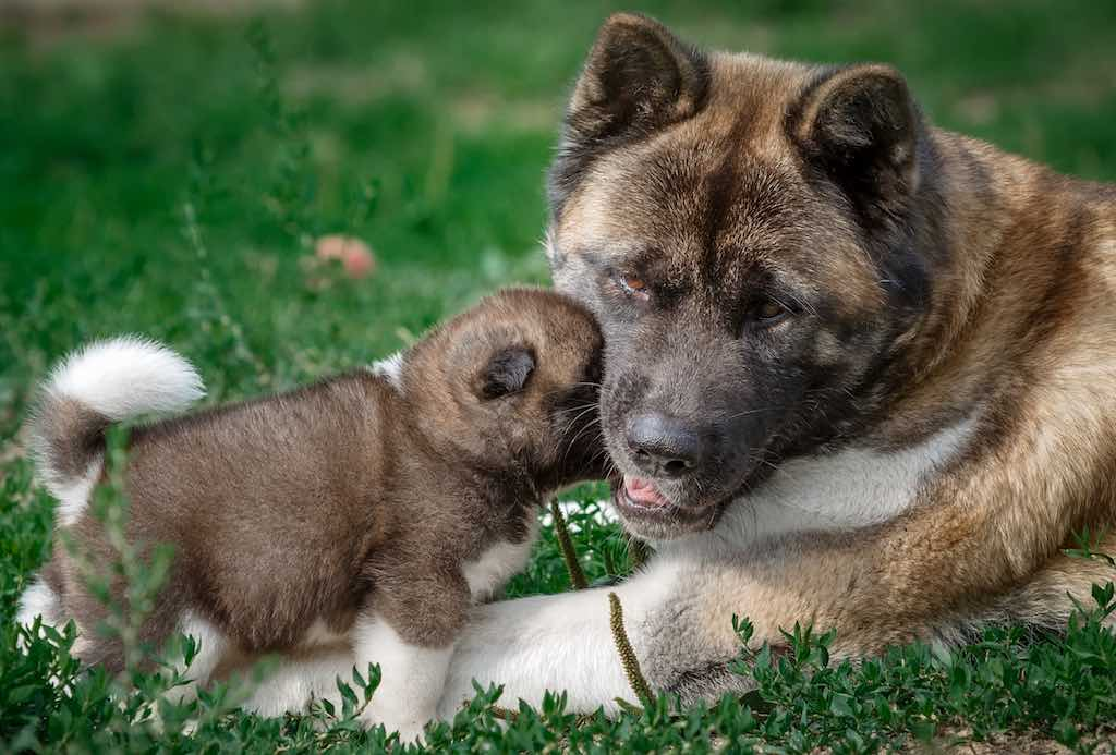 American Akita with pup