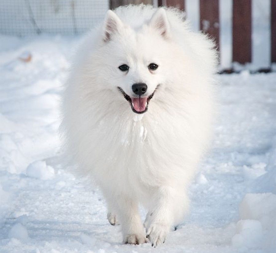 American Eskimo Dog Eskie