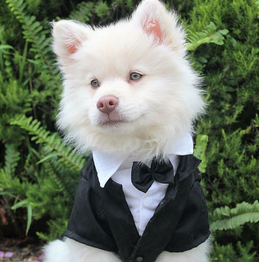 American Eskimo Dog in a TUX