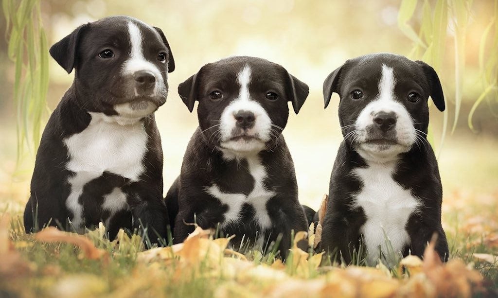 Blue American Staffordshire Terrier puppies