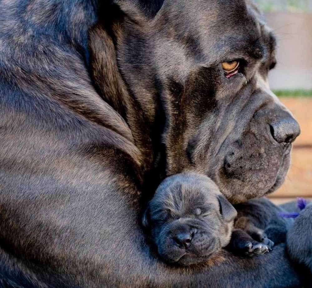 Cane Corso Italian Mastiff with puppy