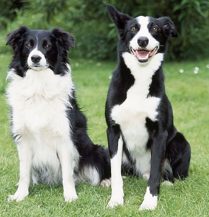 Border Collie and Smooth Collie