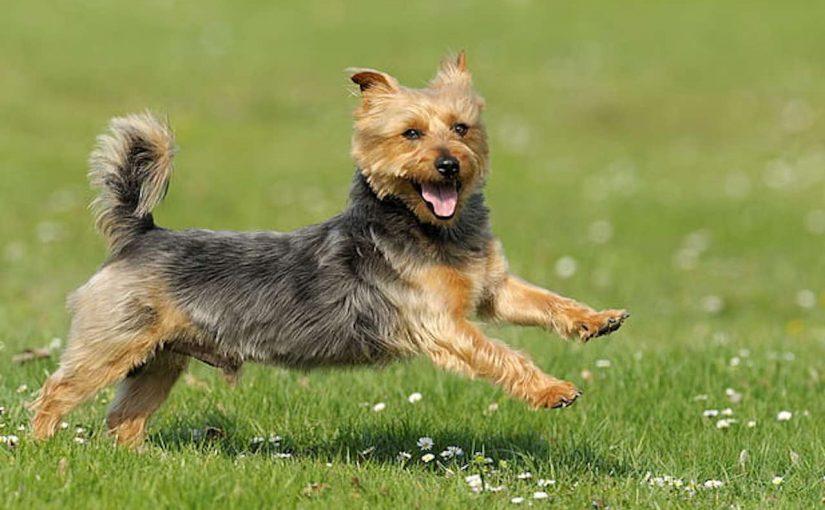Australian Terrier dog breed image