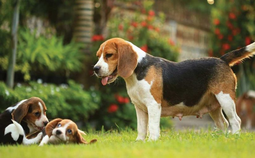 Beagle Dog Breed Image