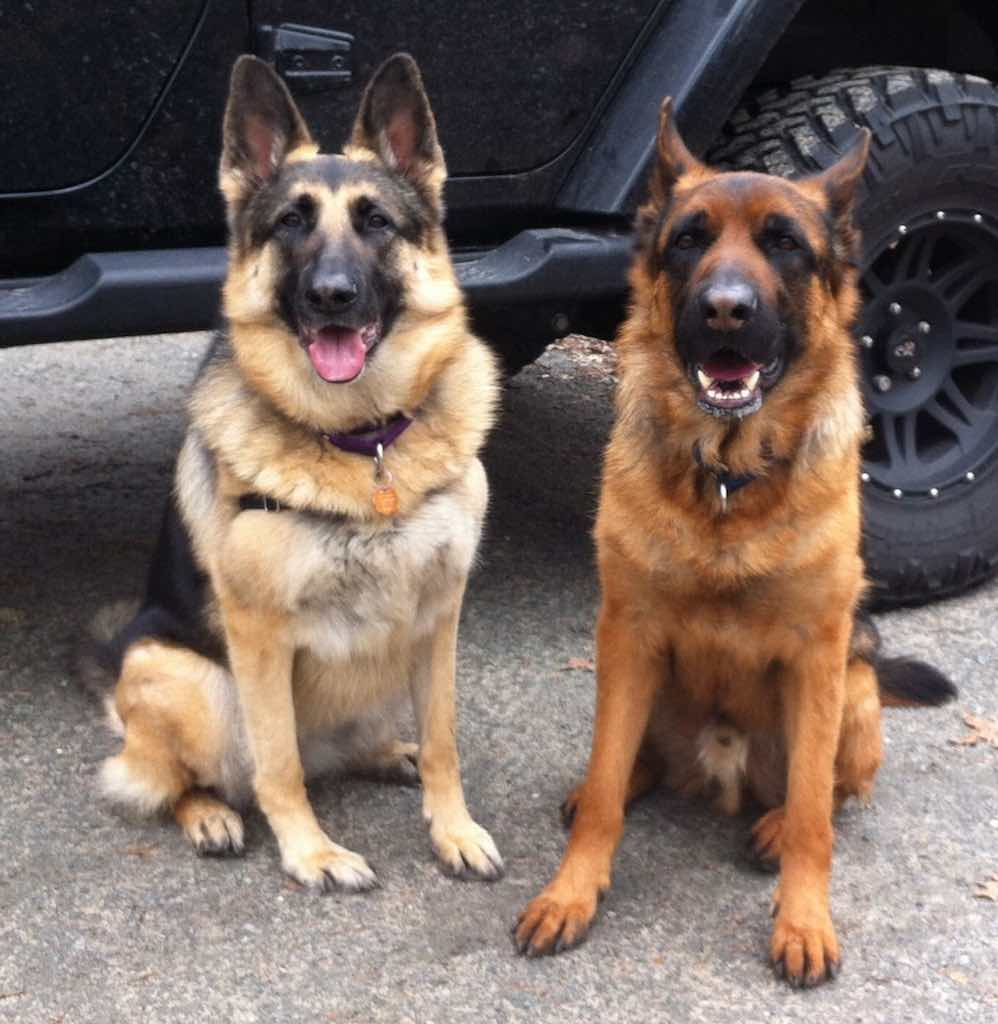 Black and Tan with Black and Red GSD