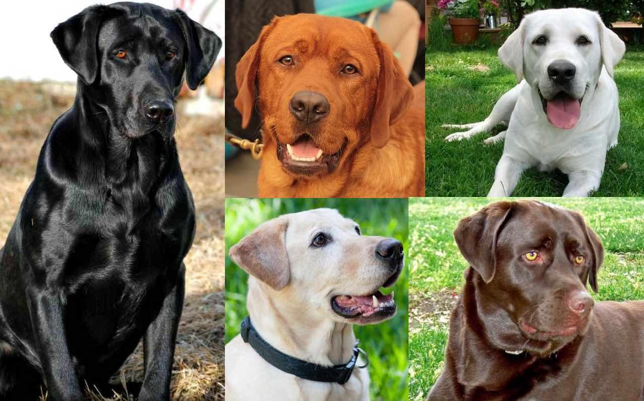 Labrador Retriever Colors