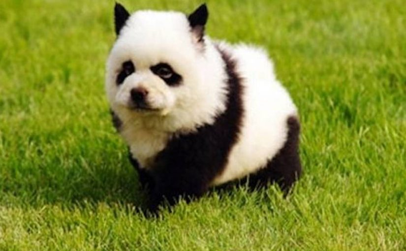 Panda Dog. Dogs that look exactly like Pandas!