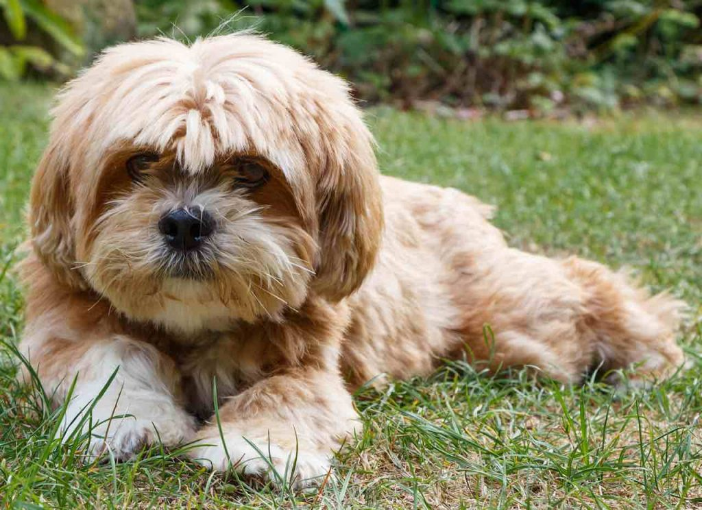 Lhasa Apso in a puppy cut